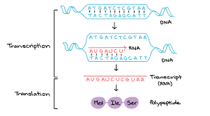Transcription An Overview Of Dna Transcription Article