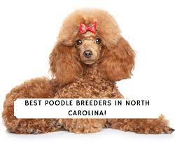 best poodle breeders in north carolina