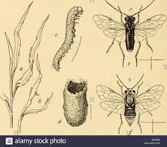 Corn Flea Beetle Bulletin Geography 282 Prairie Communities Fissilis Of
