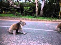 Image result for curb stomping koala