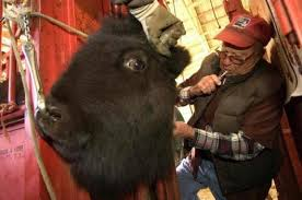Image result for vaccinating bison