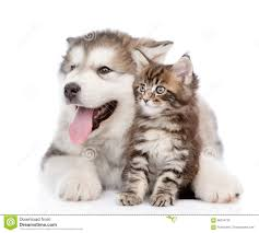 kittens and puppies hugging. Plain And Alaskan Malamute Puppy Hugging Maine Coon Kitten Isolated On White Inside Kittens And Puppies Hugging