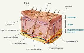 кожи Рецепторы кожи