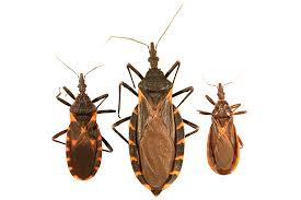 Black Beetle Identification Chart Kissing Bug Identification Requires Closer Look Insects In
