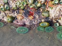 Exploring Rocky Shores of Southern Oregon Coast: Sea Anemones