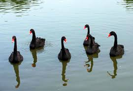 Картинки по запросу чёрные лебеди