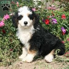 a bernedoodle miniature puppy named remi