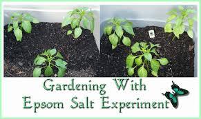 epsom salt gardening. Modren Gardening Gardening  Epsom Salt Treatment Experiment On S