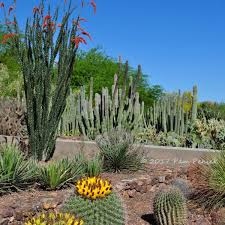 standing tall like a bunch of giant pipe cleaners ocotillo blooms amid masses of agave