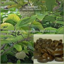 Aliexpresscom  Buy 20 Seeds Sugar Apple Seeds ANNONA SQUAMOSA Annona Fruit Tree