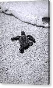 sea turtle on sea turtle canvas wall art with sea turtle canvas prints fine art america
