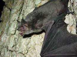 nickajack cave count shows gray bat numbers remain strong despite disease