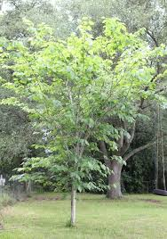 Fruit ID 6Mulberry Tree No Fruit