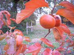 Buy Texas Trees  TX Shade Tree Sale  Best Texas Fruit TreeFruit Tree Sale Houston