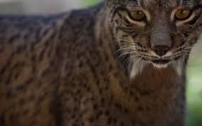 lynx size on the trail of the rarest cat on earth a short drive from the