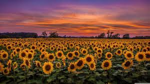 Cute Sunflower Laptop Backgrounds (Page ...