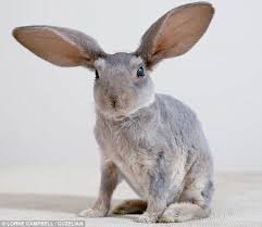 rabbit without fur.  Fur Rabbit Without Fur  Photo2 To Without Fur H