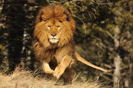 hd photo lion barbary lion s wallpapers