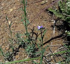 Linaria arvensis (L.) Desf. {ID 4728} - Linajola campestre - Forum ...