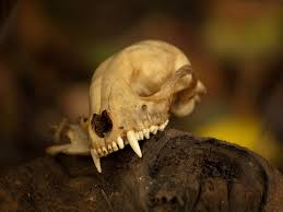 Small Animal Skull Identification Chart Animal Skull Identification Resources The Infinite Spider