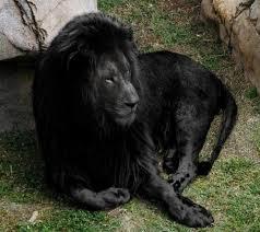 Black Lion Hd Wallpaper 61 Pictures