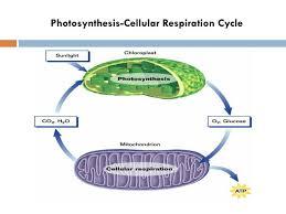 photosynthesis cellular respiration cycle
