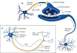 3 A Structure Of Neuron With Axon Dendrites And Synapses
