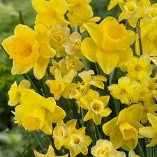 van zyverden daffodils bulbs season of sunshine mixture set of 25