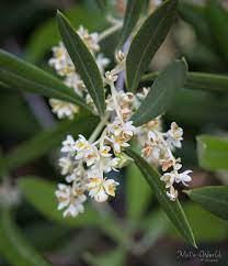 Olive Flowering, Pollination, and Fruit Set Factors | The Olive Oil Source