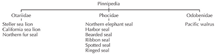 Pinnipeds Seals Sea Lions And Walrus Marine Education