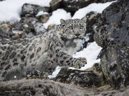 stories wwf collared snow leopard yalung
