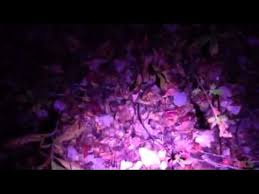 Blood Tracking Light Gorgeous Primos BloodHunter HD YouTube