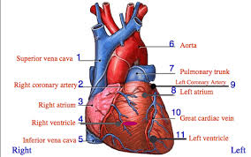 Anatomy Of The Heart Chart Heart Anatomy Review