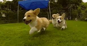 corgi puppy stampede gif.  Corgi Funnydoganimalvideocorgisrunningslowmotion To Corgi Puppy Stampede Gif I