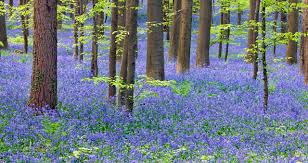 bluebell noun definition and synonyms