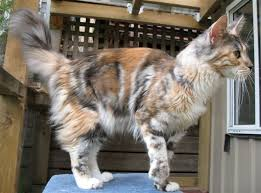 Tabby Patterns Extraordinary Tabby Patterns Reference Wiki Warriors Amino