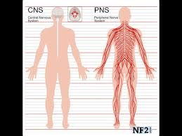 Central Nervous System Vs Peripheral Nervous System Venn Diagram Central Nervous System Vs Peripheral Nervous System Youtube