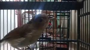 Tapi sekarang mulai banyak para peternar burung, unggas diantaranya burung merpati melakukan penelitian mengenai cara. Burung Tledekan Jati Flamboyan Gacor L Pas Buat Masteran By Kicau Viral