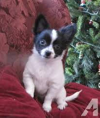 long hair chihuahua puppy in