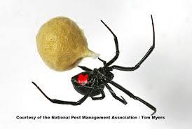 Spider Identification Chart California Spiders 101 Types Of Spiders Spider Identification
