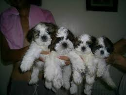 shih tzu puppies for 3 2017 or text ronnie