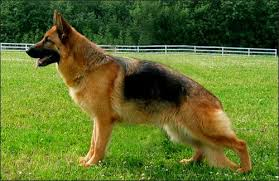 pitbull dog vs doberman. Contemporary Doberman Pitbull Dog Vs Doberman 10 Most Dangerous Throughout B