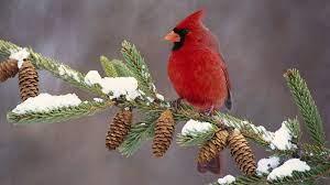 Winter Cardinal Wallpapers - Top Free ...