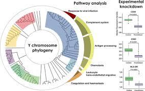 Knockdown Factor Chart Human Y Chromosome Exerts Pleiotropic Effects On