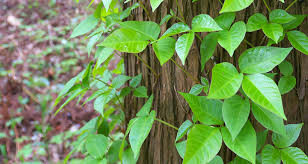 Sleeping With Poison Ivy Itch: Remedies For Night-Time Irritation