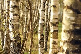 tree trunks, birch, trees, spring