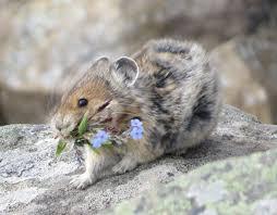 Rodents Lower Classifications Pika Wikipedia