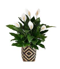 Office feng shui plants Bamboo Plant Peace Lily Arnolds Office Furniture 10 Feng Shui Plants That Will Clear The Air Mydomaine
