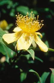 Hypericum in Flora of China @ efloras.org