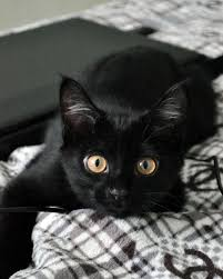 cute black cats with yellow eyes. Wonderful Cute He Made Me Smilebig Olu0027 Eyesdaring To Pet Itwaiting Strike Throughout Cute Black Cats With Yellow Eyes I